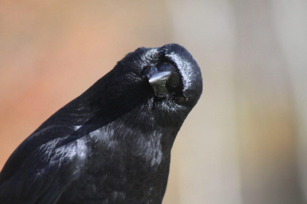 crow-2843316_1280-min