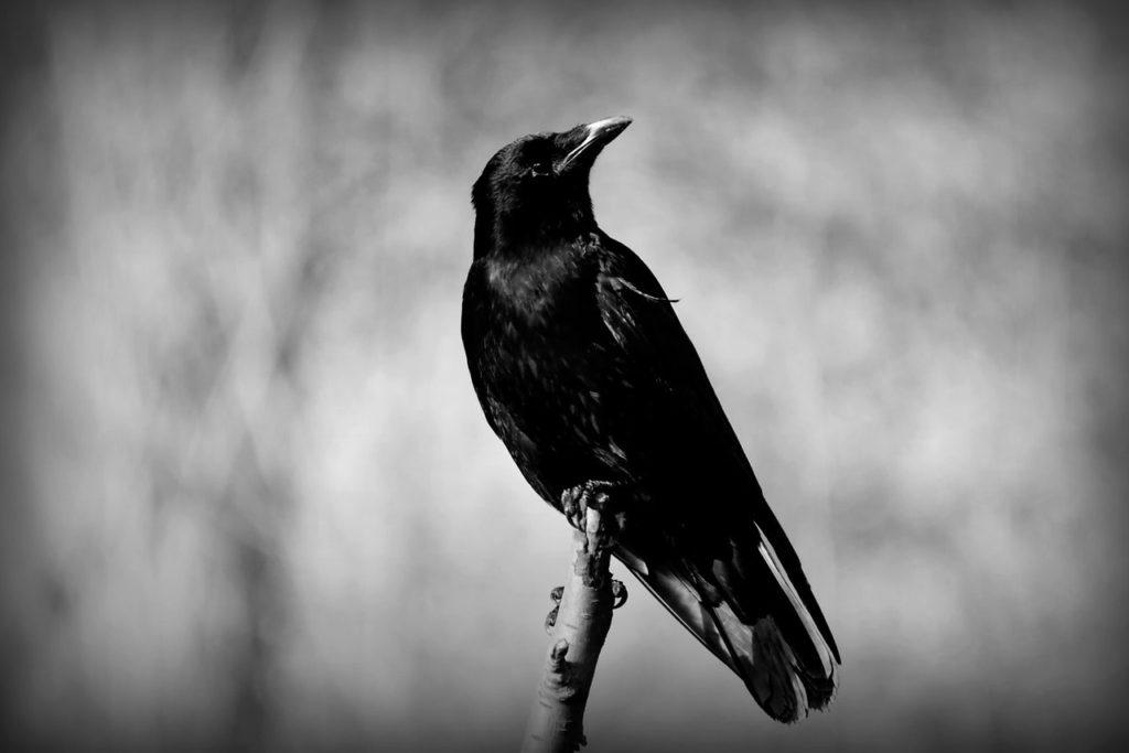 crow-4019552_1280-min