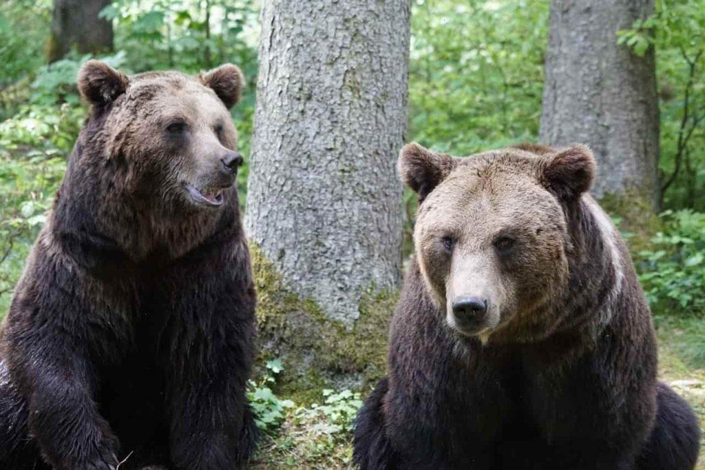 brown-bears-870549_1280-min