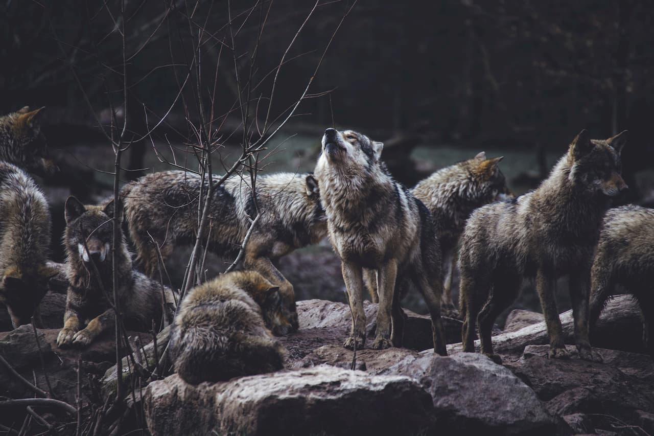 wolf-movie3