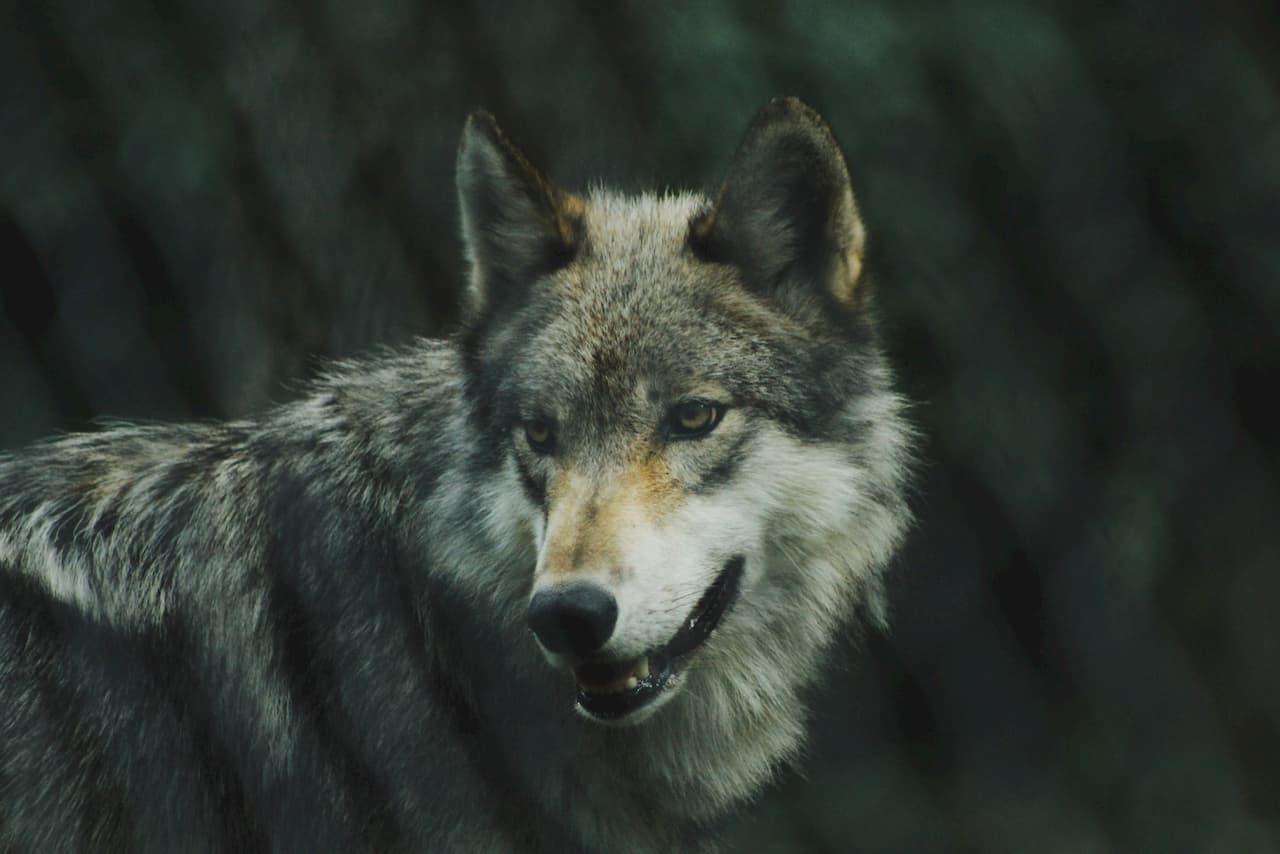 wolf-movie4