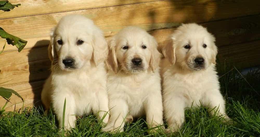 puppies-2243686_1280 (1) (1)