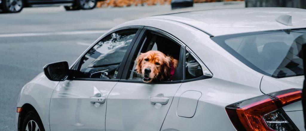 dog in car01